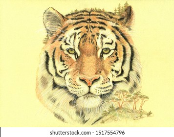 Siberian tiger. Hand drawing pencils