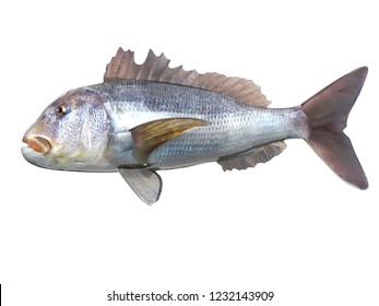 Side view of dentex Sparidae fish 3d render isolated