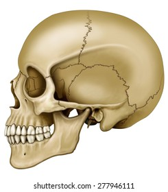 Side view of the human skull