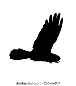 Silhouette Banks' Black Cockatoo (Red-Tailed Cockatoo) in flight