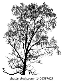 Silhouette of birch tree on a background