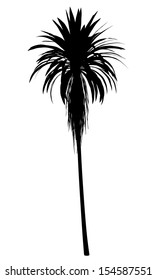 silhouette of mountain cabbage palm tree isolated on white background