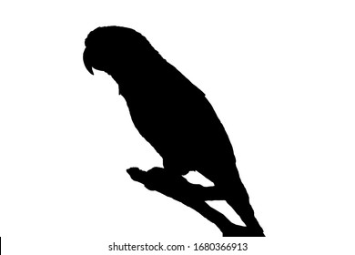 Silhouette the sun conure parrot on tree branch. Sun parakeet icon, sign symbol on white background.