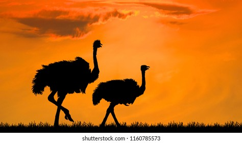 Silhouette the two ostrich on the savanna in the orange sunset sky