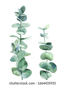 Silver blue eucalyptus branch. Botanical plant leaves. Design for wedding invitation, greeting, card, post card and textile. Watercolour illustration on white background.