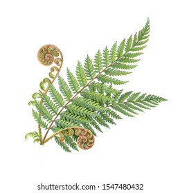 Silver Fern Pencil Illustration Isolated on White
