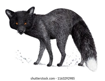 Silver fox, black fox. Watercolor illustration.  Silver-black fox or silver fox. Illustration for a book about animals, for printing on fabrics, in magazines, etc.