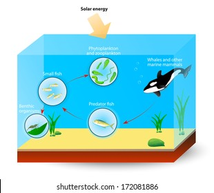 Simple marine food web. The diagram shows the relationships among organisms living in an ocean. producers and consumers. Whales, and other marine mammals are at the top of the food chain.