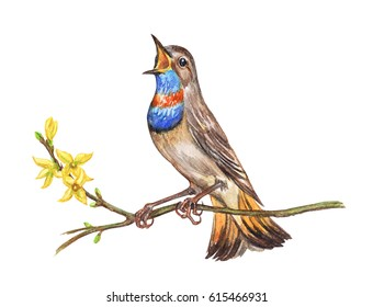 Singing Bluethroat on forsythia, watercolor illustration on a white background. A bird on a flowering branch, watercolor painting.