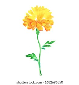 single flower french marigold watercolor drawing on a white background