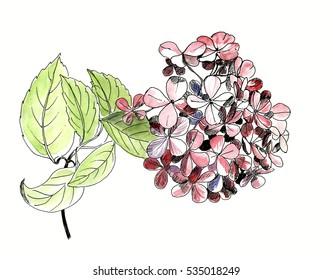 Single flower of hydrangea with leaf, isolated, hand drawn sketh