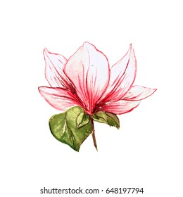 Single magnolia flower. Isolated realistic element. Blossoming pink flower, plant. Raster watercolor handdrawn illustration