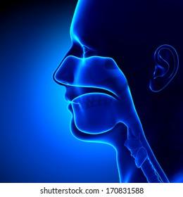 Sinuses - Clear Head Anatomy
