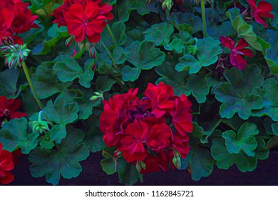 Sitting in the backyard, admiring our Geraniums, with some artistic touches added in post-processing.