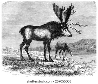 The Sivatherium, kite colossus Pliocene time, vintage engraved illustration. Earth before man  1886.