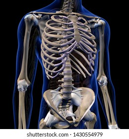 Skeletal System in Male Chest and Abdomen, 3D Rendering