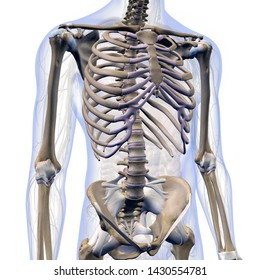 Skeletal System in Male Internal Anatomy of Chest and Abdomen, 3D Rendering