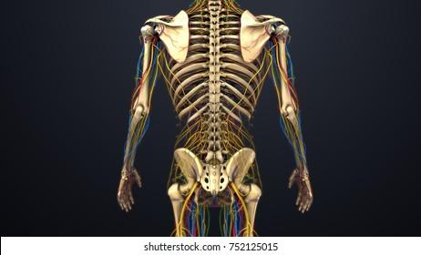 Skeleton with Arteries, veins, nerves and lymph nodes 3d illustration