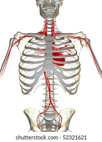 Skeleton and Heart System on White Background