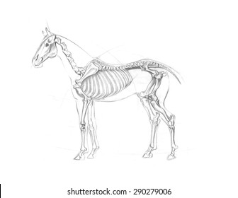 Skeleton of horse, anatomical scheme painted, on white background