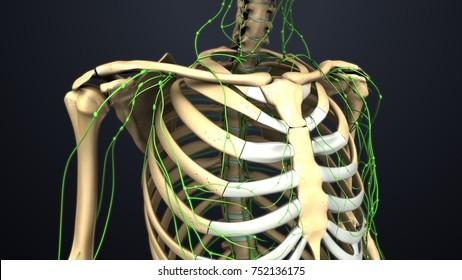 Skeleton with lymph nodes 3d illustration