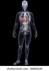 Skeleton X-Ray - Liver.  X-Ray of a male skeleton displaying his liver. Isolated on a black background