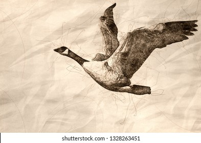 Sketch of a Canada Goose Flying on White Background with Wings Outstretched