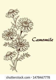 sketch of chamomile flowers on beige background, graphics