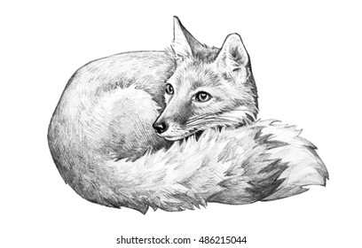 A sketch of a fox with big eyes and a bushy tail curled up in a cute hand drawn wild animal illustration.