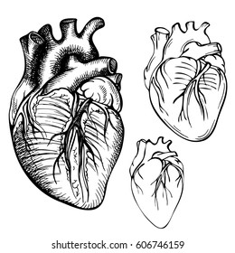 Sketch Ink Human heart. Engraved Anatomical heart illustration