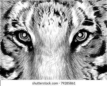 Sketch picture in black and white eyes of tiger