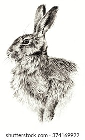 Sketch - Rabbit on white background. Detailed pencil drawing