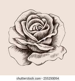 Sketch rose. Hand drawn realistic flower  illustration