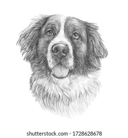 Sketch of The St. Bernard dog isolated on white background. Powerful Dog Breeds. Realistic Portrait of Moscow Watchdog. Animal art collection. Hand drawn pet illustration. Good for T-shirt, pillow