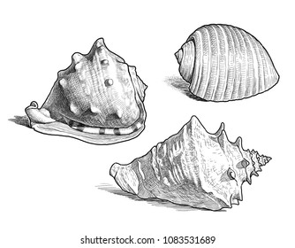 Sketches of the different sea shells