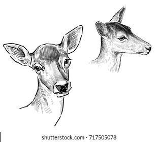 Sketches of the roe deers heads