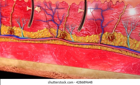 Skin anatomy 3d illustration