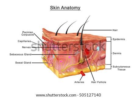 Skin Anatomy 3 D Illustration Stock Illustration 505127140