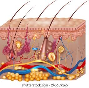 Skin anatomy. Detailed medical illustration, beautiful bright colors.
