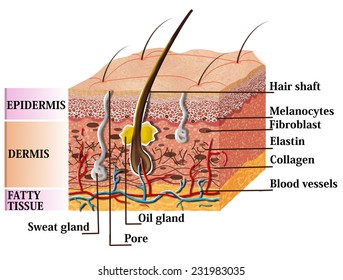 Skin anatomy diagram with description. Illustration of skin cross section