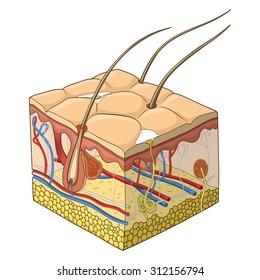 Skin structure raster version, animal skin, human skin, body structure, veterinary, hair