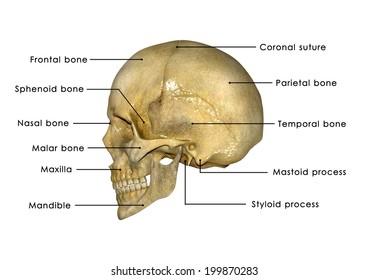 Shutterstock Skull Bone Diagram - Data Wiring Diagrams •