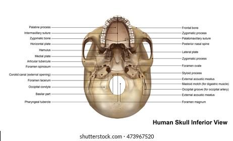 Skull Inferior view 3d illustration
