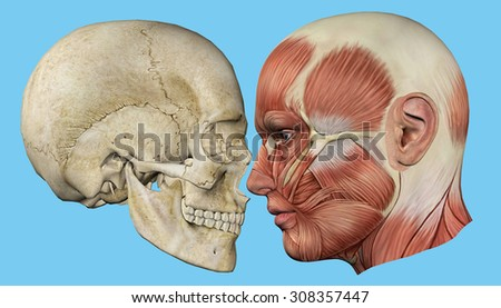 Skull Muscles Profile Featuring Mandible Occipital Stock ...