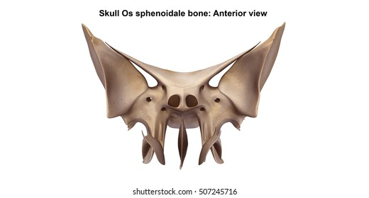 Skull Os sphenoidale bone Anterior view 3d illustration