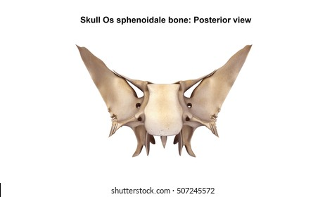 Skull Os sphenoidale bone Posterior view 3d illustration