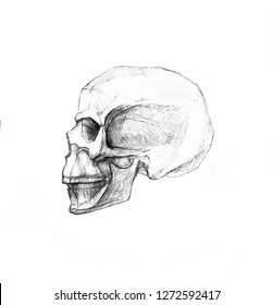 Skull in profile and side view. Pencil drawing isolated on white background. Body anatomy, medical illustration