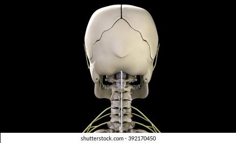 Skull rear view
