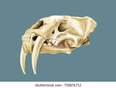 Skull of saber toothed tiger watercolor painting isolated on blue background