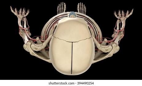 skull, top view